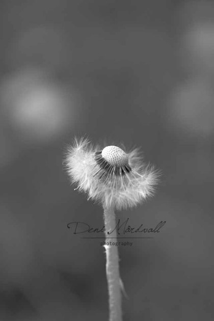 Dandelion a Silent Dancer Who Wears Tutu_1 kopia