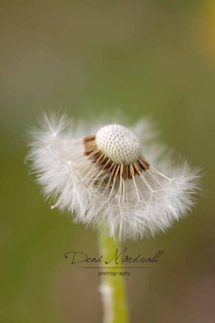 Dandelion a Silent Dancer Who Wears Tutu_2 kopia