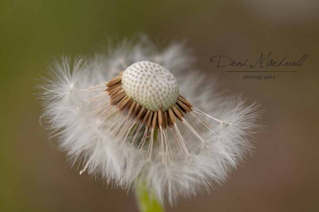 Dandelion a Silent Dancer Who Wears Tutu_3 kopia