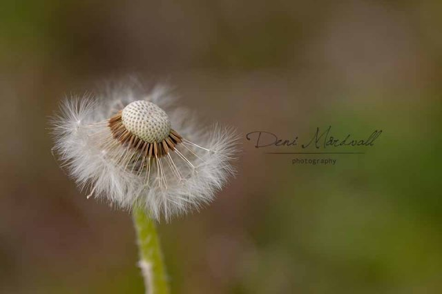 Dandelion a Silent Dancer Who Wears Tutu_4 kopia